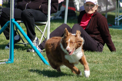 Chili, red/white Australian Shepherd (with Kathleen Alles in the background)