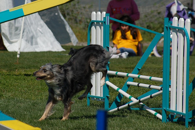 Aspen the Miniature Australian Shepherd jumps