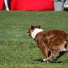 Chili, red/white Australian Shepherd