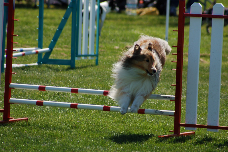 Sable sheltie jumps