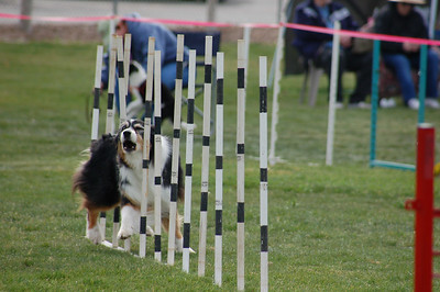 Chase the Tri Aussie weaves, and barks