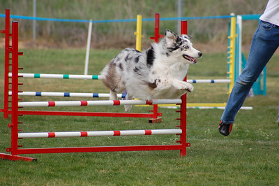 Merle sheltie jumps