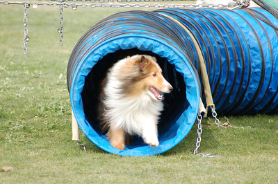 Sable sheltie finishes tunnel