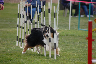Chase the Tri Aussie weaves