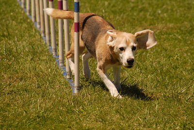 Bernie the beagle at the weave poles
