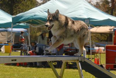 Tika on the dog walk