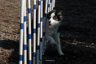 Tricolor Aussie running the weave poles