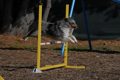 Merle sheltie Sizzle jumping