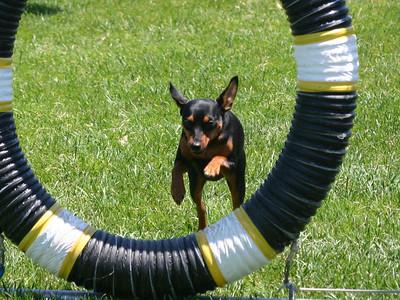 Miniature Pinscher doing the tire jump