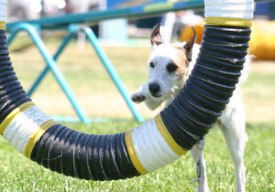 Jack Russell Terrier doing the tire jump