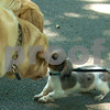 Ursula nose to nose with the big Labs. cropped for 10 x 8.<br /> Email Penny if you would like me to try a different crop of any of these photos.