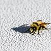 Maine Bee