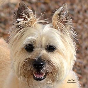 """""""Jessie"""" ( Cairn Terrier )"""
