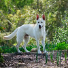 White German Shephard