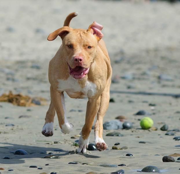 AmericanPit Bull Terriers