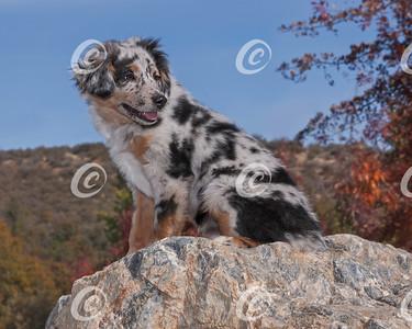 Smiling Australian Shepherd Puppy Sitting on a Marble Boulder