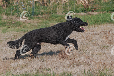 Portuguese Water Dog Happily Running in a Pasture