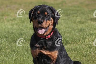 Portrait of a Rottweiler Puppy Sitting on a Blurred Lawn
