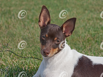 Head Portrait of a Rare Chocolate Tri-Colored Toy Fox Terrier Dog