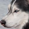 Husky Profile