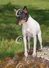 Toy Fox Terrier on a Rock