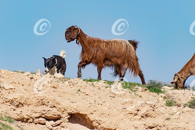 Canaan Dog Herding Bedouin Goats