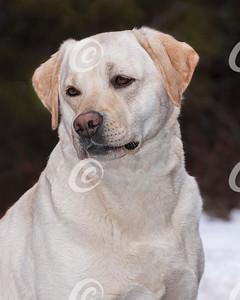 Classic Head Portrait of a Yellow Labrador Retriever