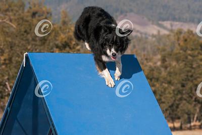 Australian Shepherd Dog Climbing on a Blue A-Frame Agility Obstacle