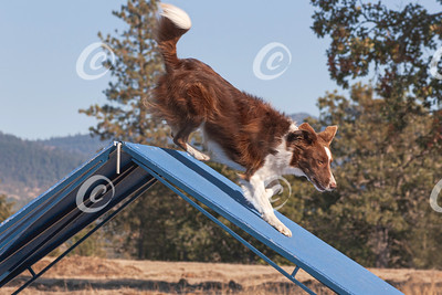 A Red Border Collie Dog Running Down the Agility A-Frame Obstacle