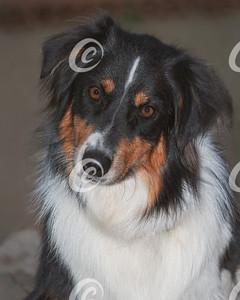 Head Portrait of a Sweet and Beautiful Australian Shepherd Dog