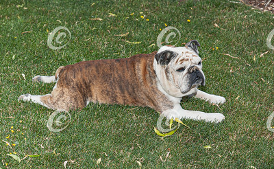 Old Bulldog Lying on a Lawn Stretched out on Her Stomach