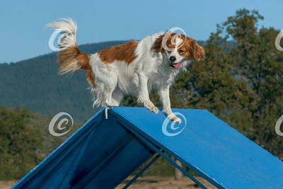Cavalier King Charles Spaniel at the Top of a Blue Dog Agility A-Frame
