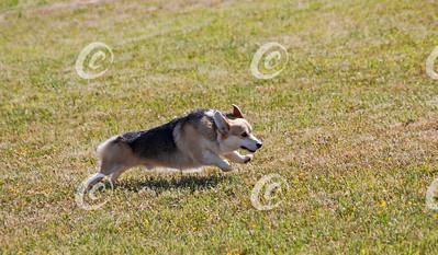 Corgi Running Free