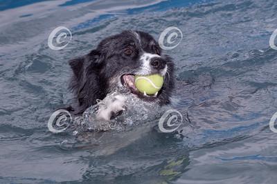 Austrailian Shepherd Swimming with Ball