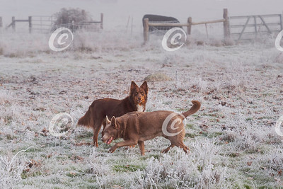 Two Australian Kelpies in a Cow Pasture Covered by Frozen Fog