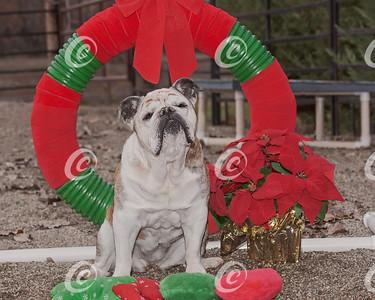 Sweet Bulldog Senior Citizen Christmas Portrait