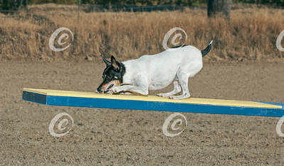 Toy Fox Terrier Dog Perfectly Performing the Agility Teeter Totter Obstacle