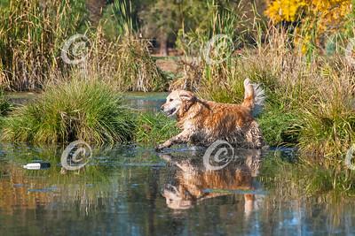 Golden Retriever Doing Water Retrieve