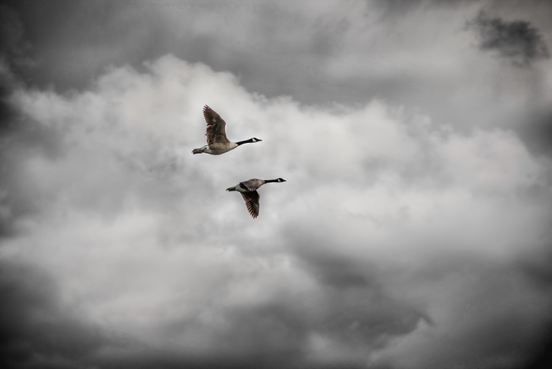 Storm Geese