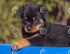 Rottweiler Puppy Lying on a Blue Towel