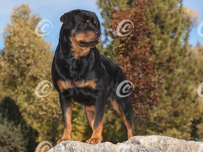 Rottweiler Standing on Marble Boulder