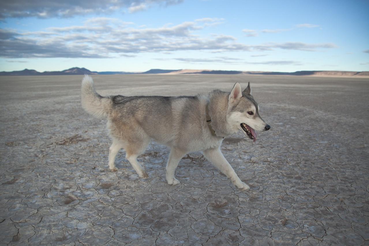 Husky in the Desert