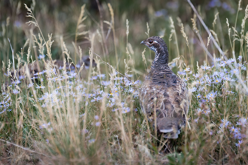 Dusky Grouse and Tufted Fleabane