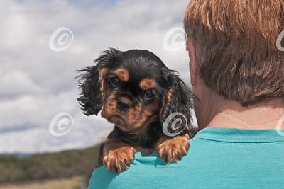 Cavalier Spaniel Puppy Looking Back over Owner's Shoulder
