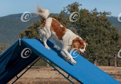 Cavalier King Charles Spaniel Decending a Blue Dog Agility A-Frame Obstacle
