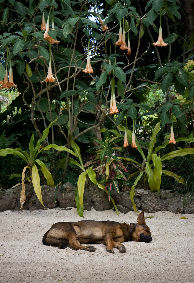 Let sleeping dogs lie.<br /> <br /> Location: Tanna Island, Vanuatu<br /> <br /> Lens used: 17-55mm f2.8 IS