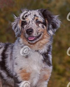 Head Portrait of Blue Australian Shepherd Puppy
