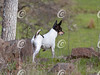 Toy Fox Terrier in Nature