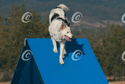 White and Black Border Collie Dog Performing the Agility A-Frame Obstacle