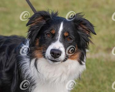 Classic Closeup Head Portrait of an Australian Shepherd Dog